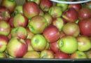 На выезде в Россию таможенники задержали 19 тонн яблок