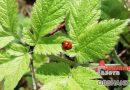 Фитофтора, тля, муравьи: спасаем растения от вредителей
