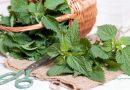 Удобрение из крапивы поможет вырастить хороший урожай