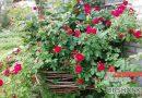 Розы: подкармливаем и боремся с вредителями без химии