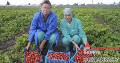 В «Тепличном» собирают клубнику. Часть урожая отправят на новую линию глубокой заморозки