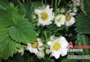 Подкармливать ли цветущую и плодоносящую клубнику?