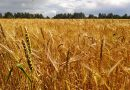 Урожай Оршанского района на 10 тысяч тонн больше прошлогоднего