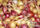 Севок посаженый под зиму дает хороший урожай