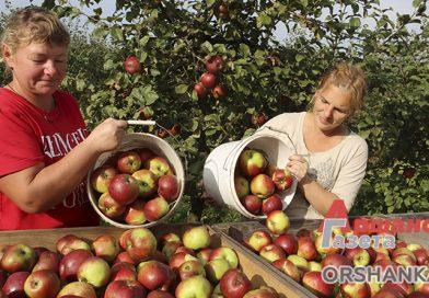 Как в Орше собирают урожай яблок   видео