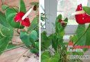 8 причин почему не цветет антуриум?