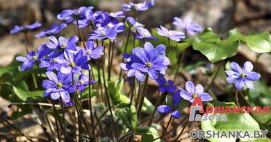 Весенние первоцветы в оршанских лесах | фото