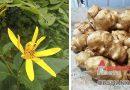 Топинамбур. Этот первый весенний овощ поможет восполнить дефицит витаминов