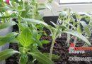 Чем опасна ранняя высадка семян на рассаду