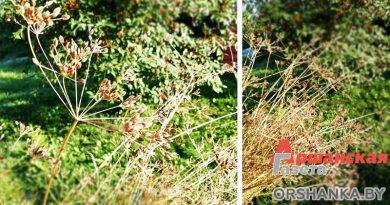 Выращиваем тмин на даче. Полезные свойства растения