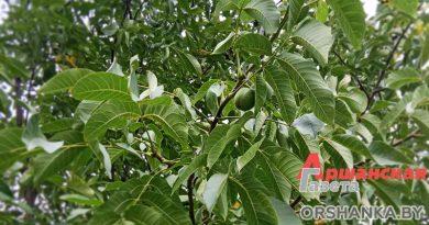 Планируете посадить ореховый сад? Все о грецком орехе